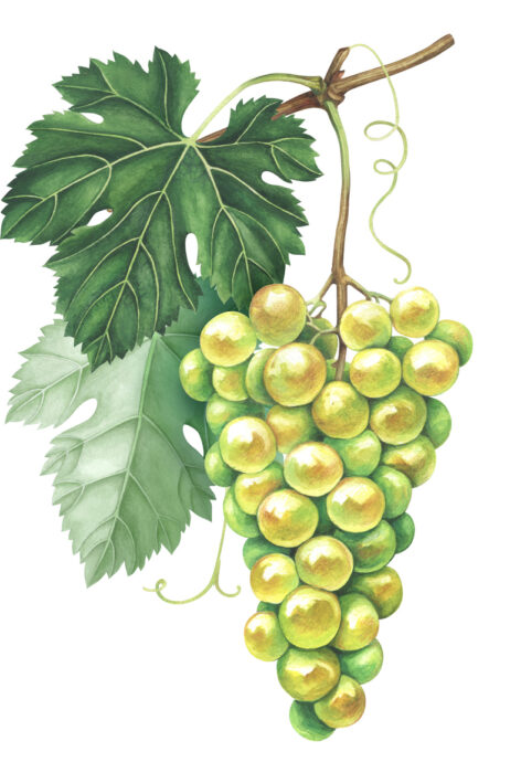 Bunch of green grapes isolated on white background. Hand drawn watercolor illustration.